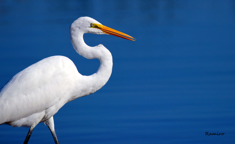 Great Egret Braunig 11-9-15 878.jpg
