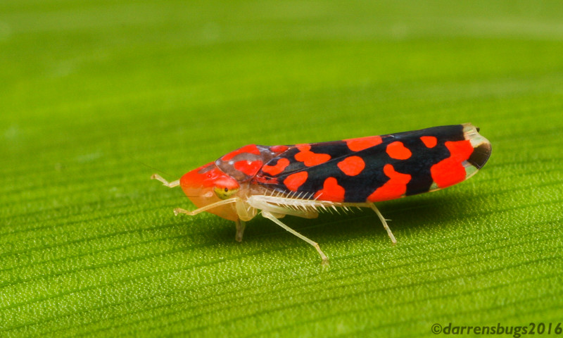 Leafhopper (Cicadellidae: Ladoffa sp.) from Belize.