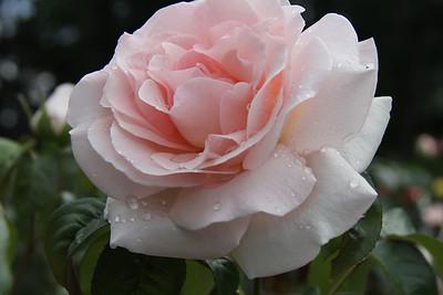 2013 Central Park Rose Garden