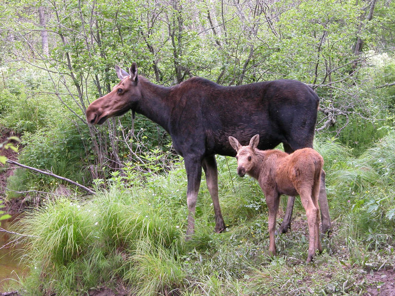 . A moose and its baby stand in the woods on Isle Royale, Mich. Mercilessly hounded by blood-sucking ticks, the Isle Royale moose herd is on a downward spiral, and the wolf packs that roam the national park in Lake Superior are taking advantage. (AP Photo/Michigan Tech University, John and Leah Vucetich)