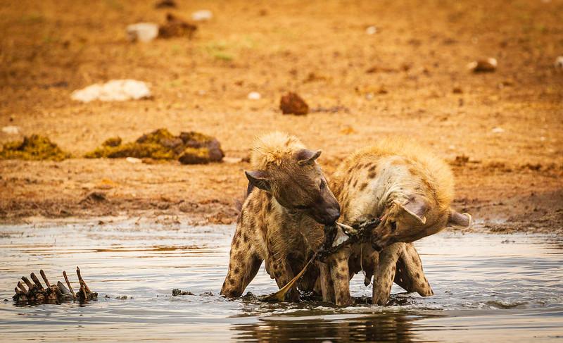 Hyaena feast 2