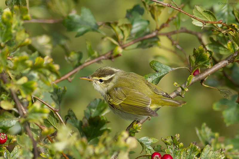 Eastern Crowned Warbler - Bempton Cliffs, Yorkshire 05/10/16