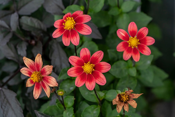 Dahlias, flower type collection, single