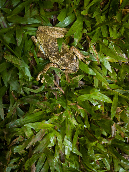 trinidad mirador frog.jpg