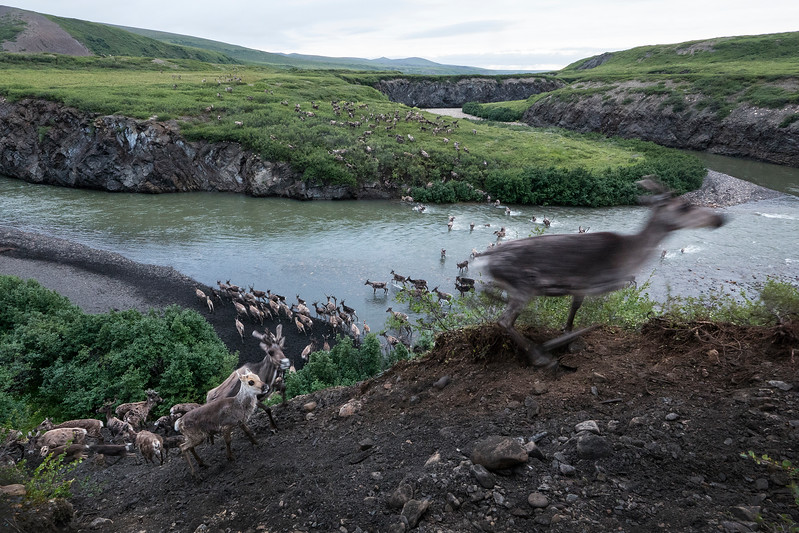 Porcupine caribou migration Blow River.