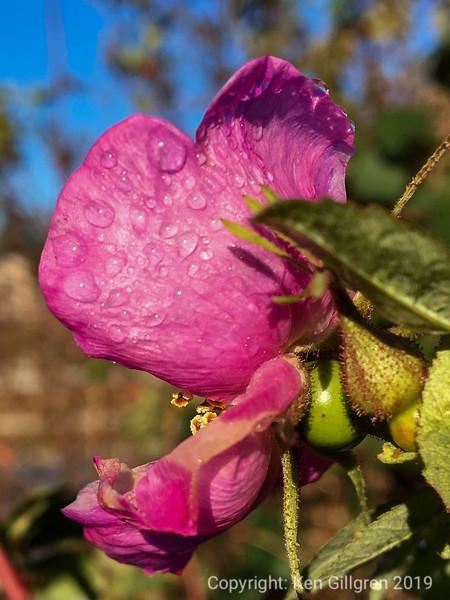 Wild Rose in Full Bloom