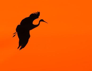 Sandhill Cranes Jasper Pulaski