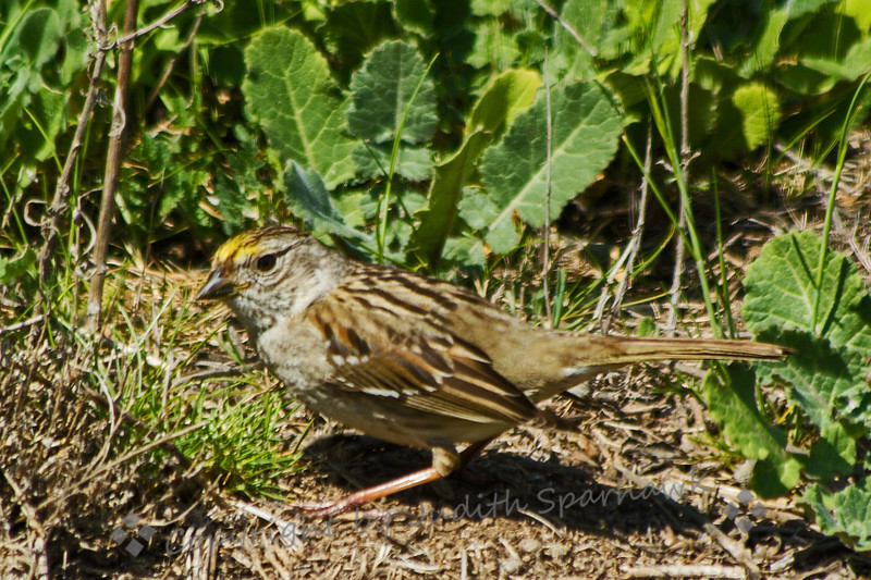 Golden-Crowned Sparrow ~ This wintering Golden-crowned Sparrow was photographed at Bolsa Chica Estuarine Reserve in Huntington Beach, CA.