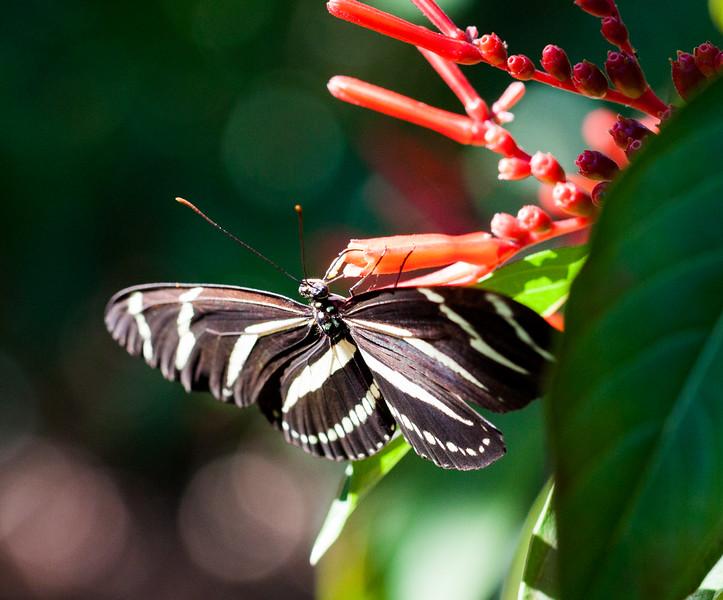 zebra longwing nectaring on firebush