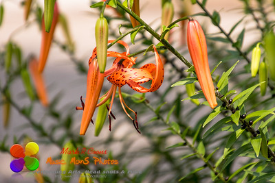 close up of a tiger lily hanging out in the garden