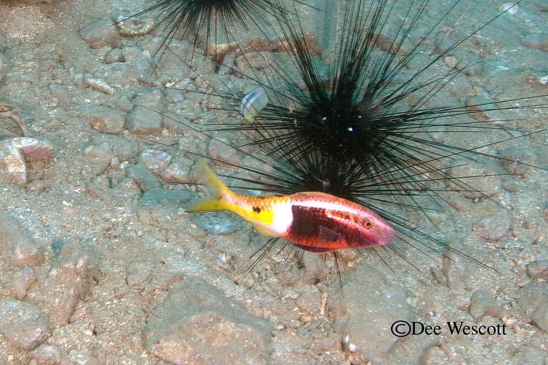 Bicolor Goatfish.jpg