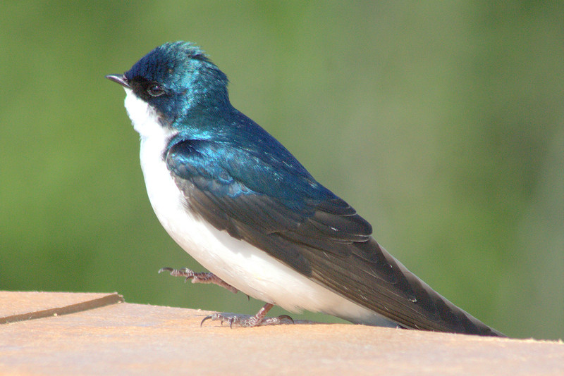 Dancing Tree Swallow