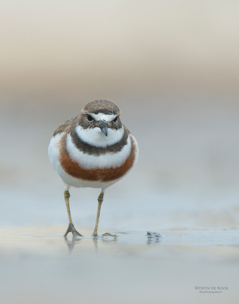 Double-banded Plover, Lake Conjola, NSW, Aug 2013-11.jpg