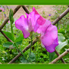 August 24, 2014<br /> <br /> Sweet Pea<br /> <br /> (236/365)<br /> <br /> Daily theme: Fragrant<br /> #fmsphotoaday