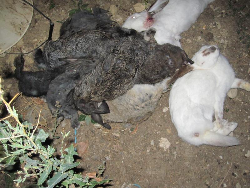 08-lapins-cadavres-elevage-France-2008-2010.jpg