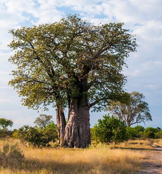 Trees_Baobab01.jpg