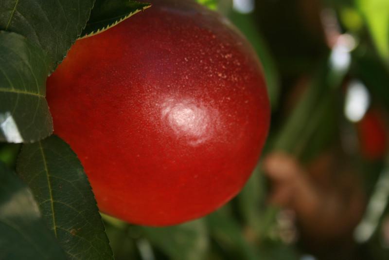 Honey Royale Nectarine