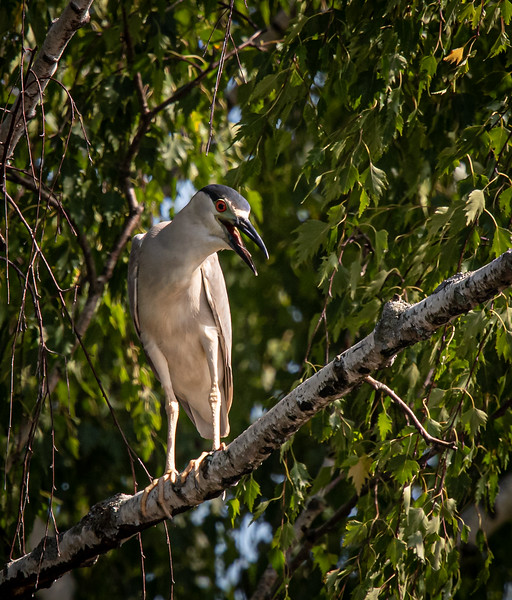 Black-crowned Night Heron tree light