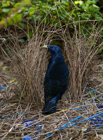 Bowerbirds and Catbirds- PTILINORHYNCHIDAE