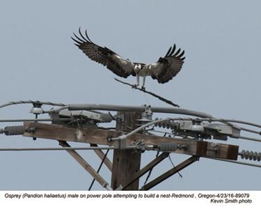 Osprey M89079.jpg