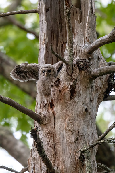 #1630 Barred Owlet