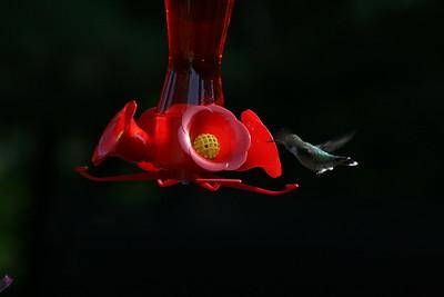 Hummingbird 2016