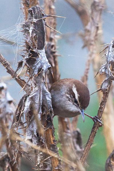 Intro to Ornithology Field Trip #7 Las Gallinas Ponds Nov 25, 2018