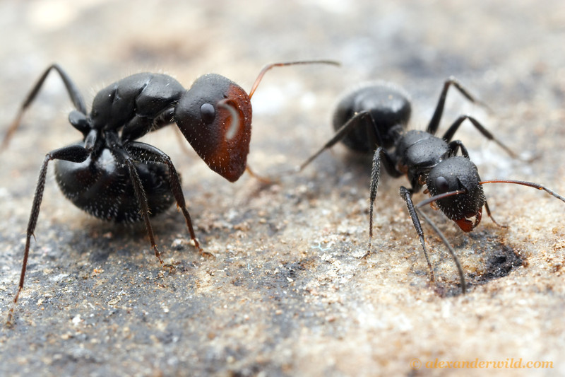Camponotus ulcerosus, major and minor workers  Sierra Vista, Arizona, USA