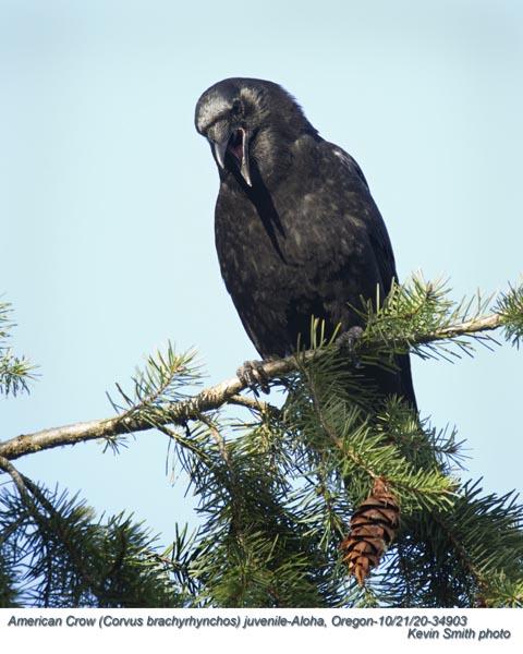 American Crow J34903.jpg