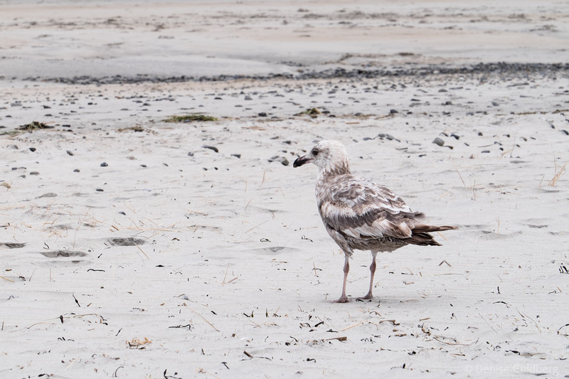 a sea gull, blending in