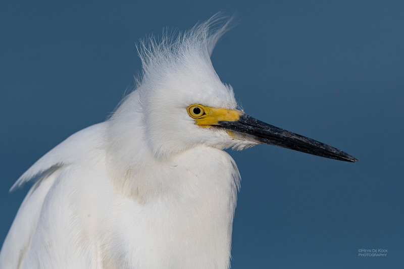 Snowy Egret, Fort De Soto, St Petersburg, FL, USA, May 2018-5.jpg