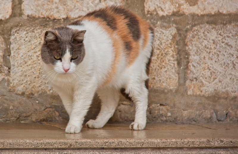 Cats of Dubrovnik, Croatia