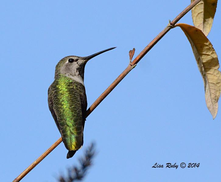 Female Anna's Hummingbird - 11/23/2014 - Backyard, Sabre Springs