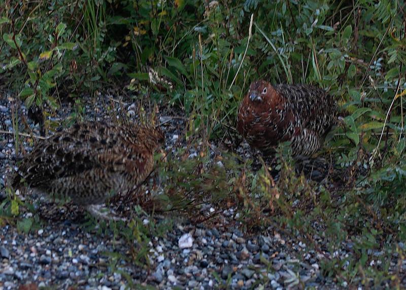 Denali Park: Birds