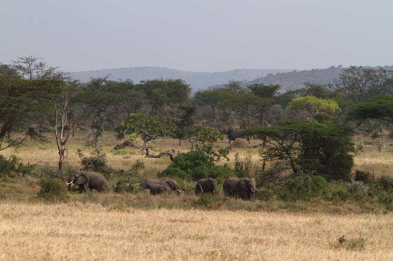 Elephants in the Seregeti.JPG