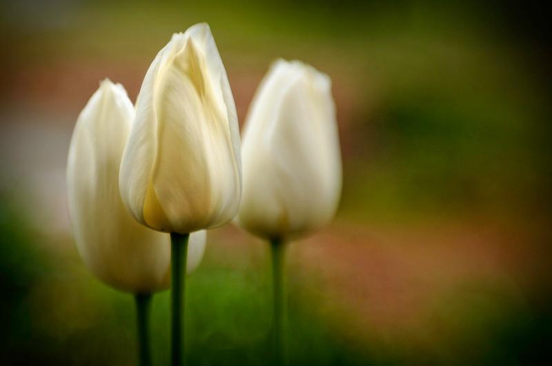 TulipTrinity.jpg