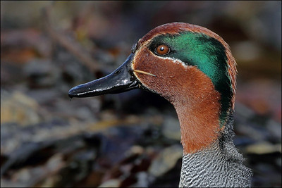 Krikkand - Eurasian Teal or Common Teal