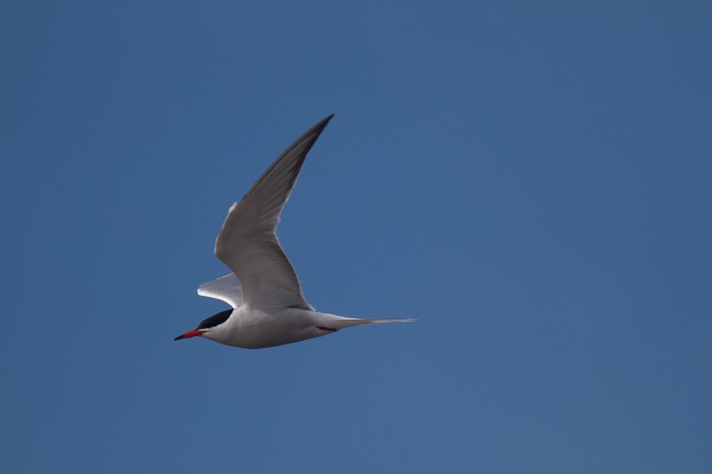 Common Tern Wisconsin Point Superior WI IMG_1487.jpg