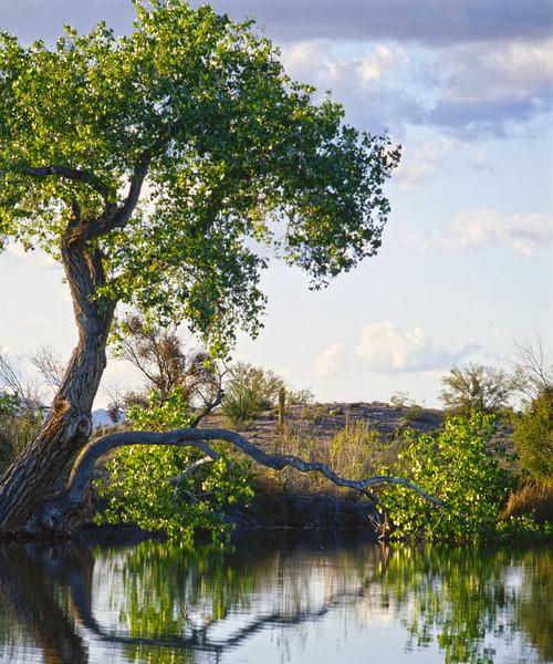 Tree in the Water 4x5.jpg