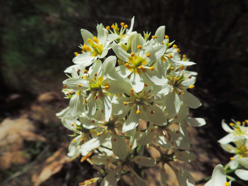 Star Lily (Toxicoscordion fremontii)