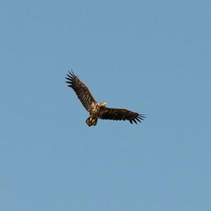 030-09 Haliaeetus albicilla, Havsörn, White-tailed Eagle