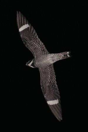 Common Nighthawks