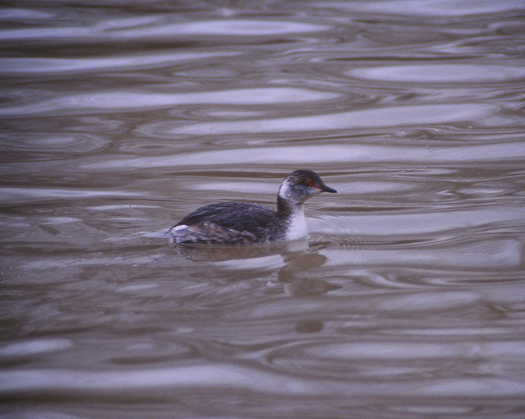 Horned Grebe again