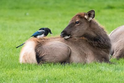 Elk at Mammoth