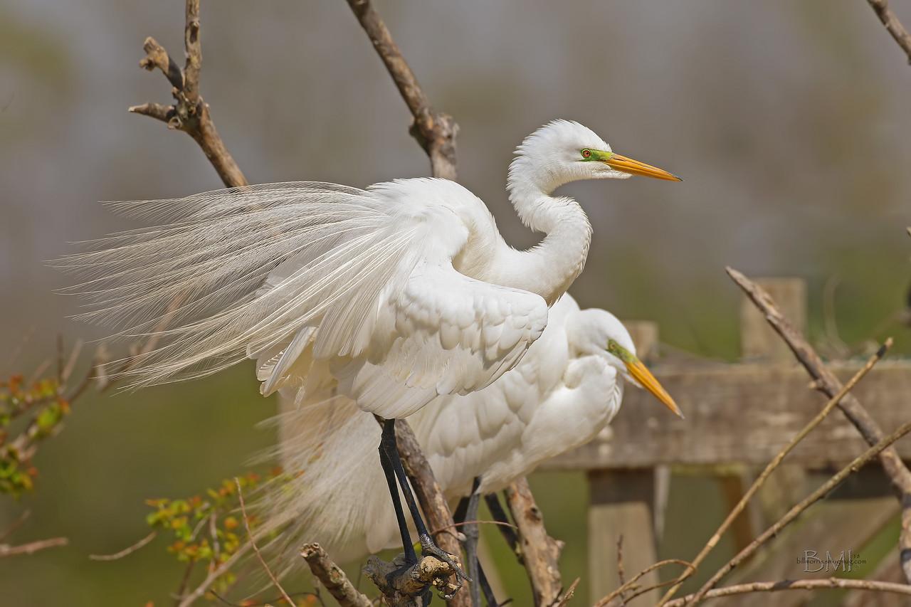 IMAGE: https://photos.smugmug.com/Beautyinthetreesandintheair/Herons-egrets-and-other-large-wading-birds/i-hHK9bKv/0/ce8ed93e/X2/Great%20egret%203-14-18-133-X2.jpg