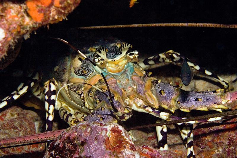 Giant Lobster.jpg