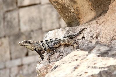 Reptiles of the Yucatan Peninsula (January 2012)