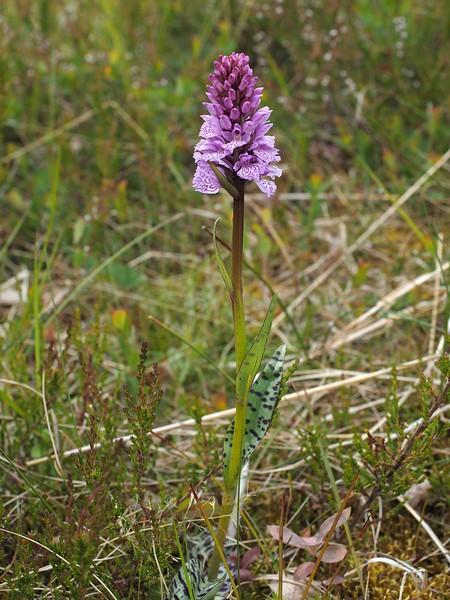 D. maculata ssp. kolaensis Gullesfjordbotn 06-07-17 (1).jpg