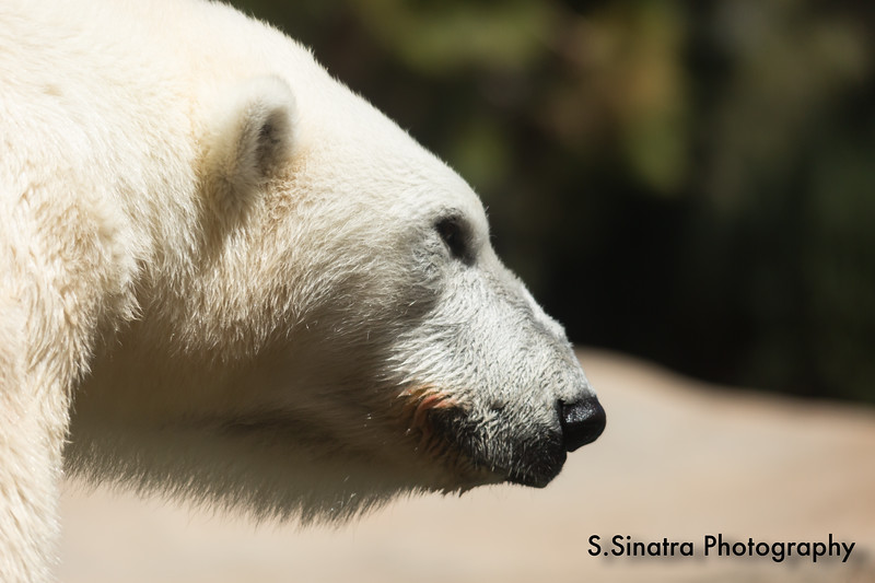 polar bear (36 of 50).jpg