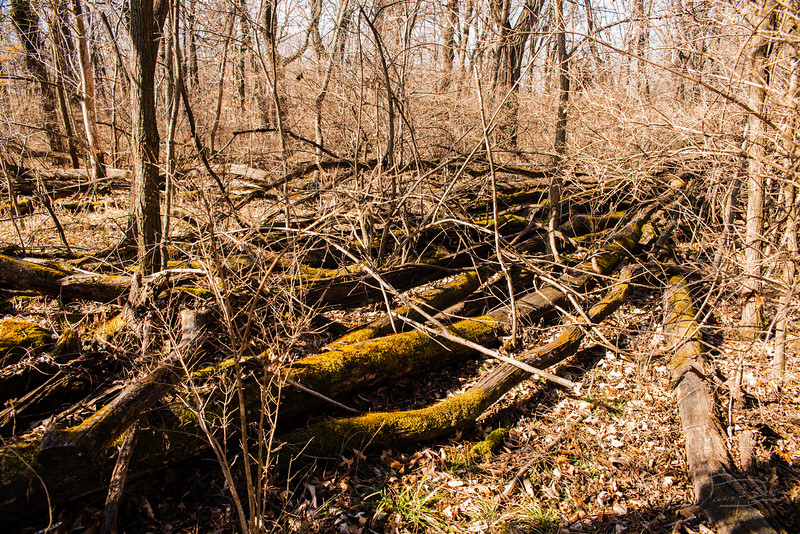 These are the remains of the trees that were cut down to dig the lagoon in 1999.  Although the pile is closer to the ground, even the ones in contact with the ground haven't decomposed all that much.  Mostly black locust.
